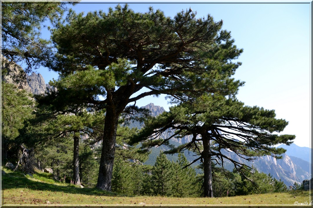 Arbres Forêt de Bavella (1) Corse
