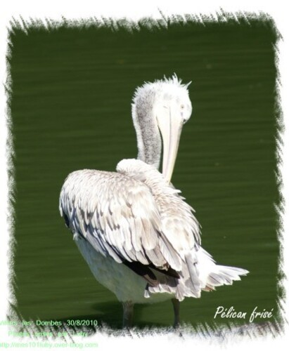 03 pelican frisé 1