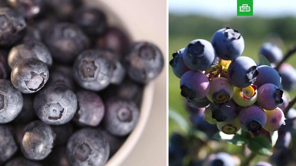 Чем полезна ягода голубика для организма человека