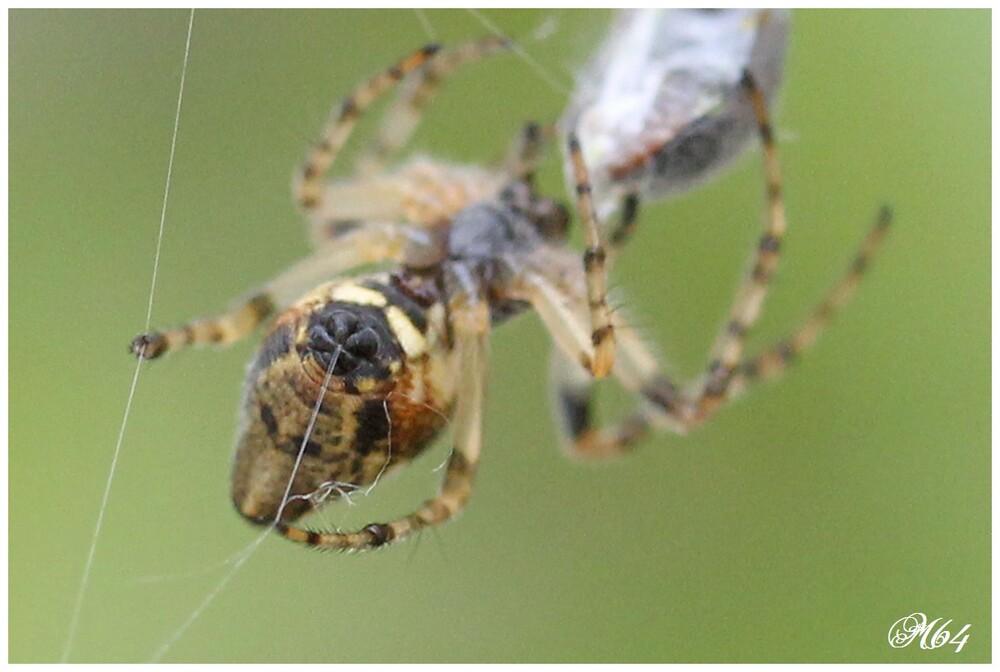 Araignée : Cyclosa conica