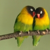 cute-animal-couples-love-birds1