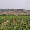 Les vignes vers Clermont L'Hérault
