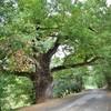 MERLES (10/16) le grand chêne