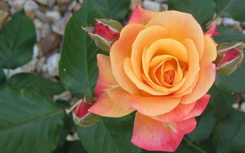 des belles roses