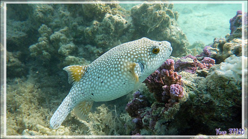 Poisson-ballon à taches blanches ou Tétrodon à épaules noires, White-spotted puffer or Stars-and-stripes pufferfish (Arothron hispidus) - Moorea - Polynésie française