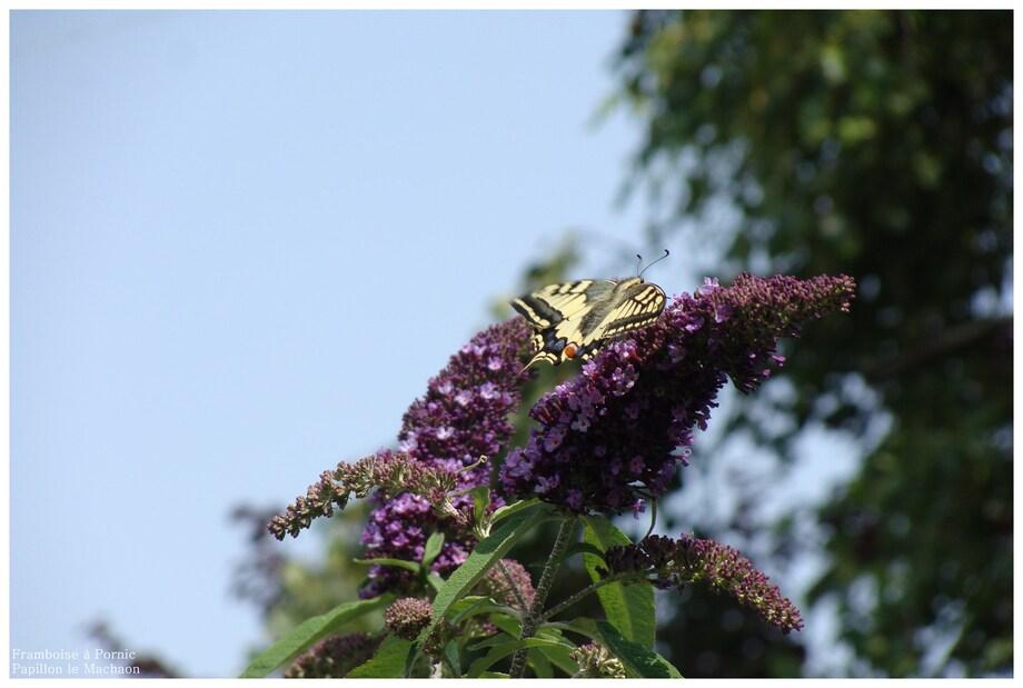 Papillon le Machaon