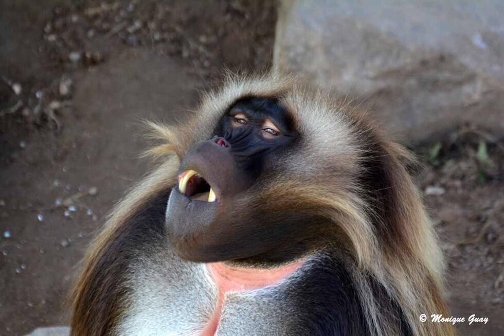 Les babouins Géladas au zoo d'Amnéville