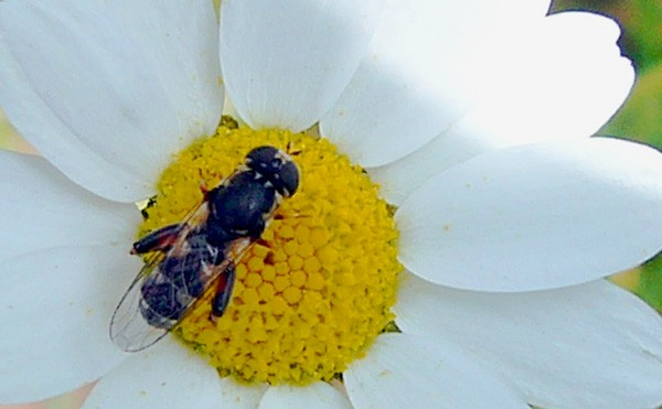 insecte sur cœur de pâquerette