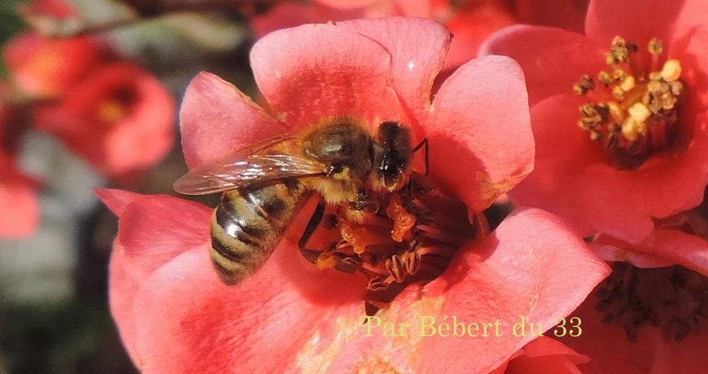 cliques sur une abeille dans mon cognassier du japon