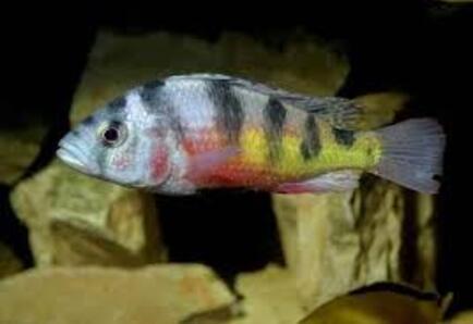 cyathochromis obliquidens