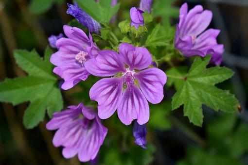 Mauve, Fleur, Purple, Nature, Plantes
