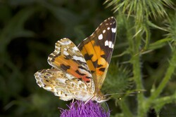 Cliquez sur l'image pour voir un article complet sur le papillon Belle Dame