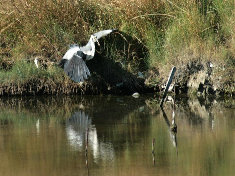Bonne pioche pour le héron cendré - Marais de Loix - Ile de Ré - 17 posté lemercredi 22 octobre 2008