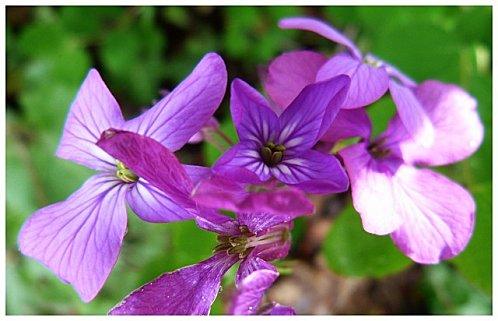 fleur mauve1