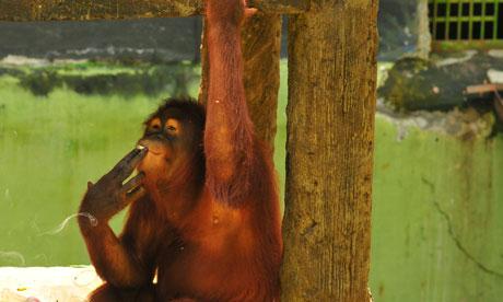 Comment obliger un orang-outan à arrêter la cigarette ?
