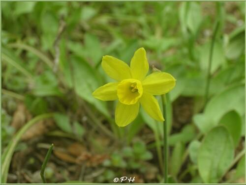 Narcissus juncifolius