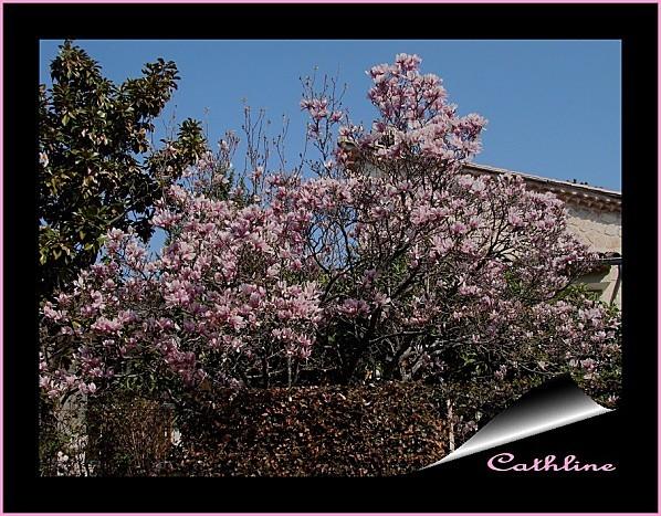 Magnolia-tulipe--2.jpg
