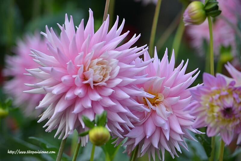 Dahlias au Parc Floral (suite)