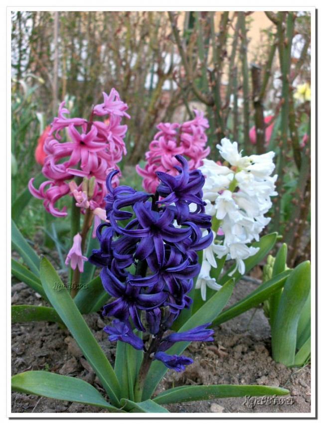Les Belles de mon Jardin