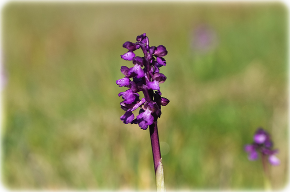 Petite orchidée sauvage ...