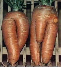 L'odyssée de la carotte au cours des siècles...