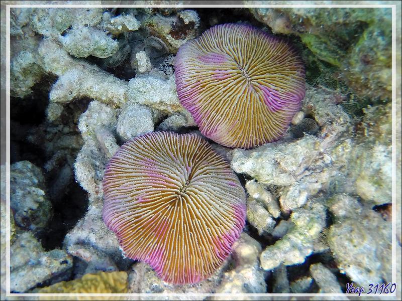Snorkeling : Corail-champignon, Mushroom coral (Fungia fungites) - Moofushi - Atoll d'Ari - Maldives