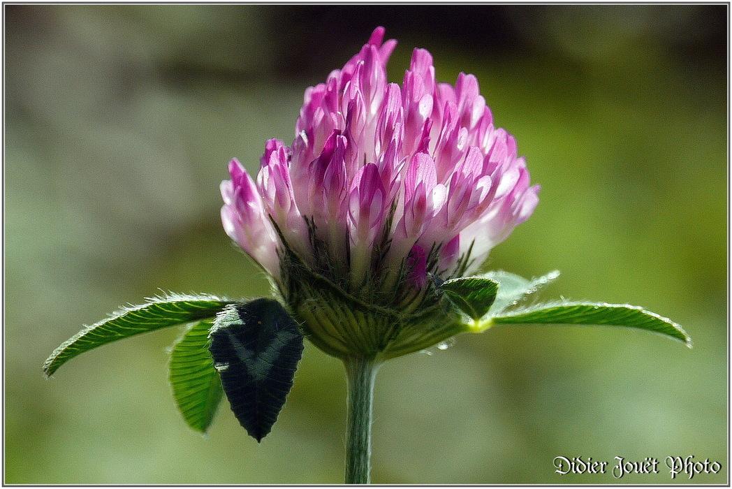 Trèfle des Prés / Trifolium pratense