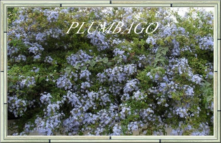plante grimpante a fleurs bleues. Black Bedroom Furniture Sets. Home Design Ideas