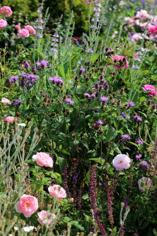 Des compagnes pour mes roses : Centaurea Cara Mia