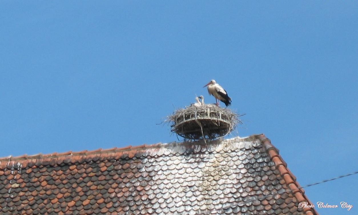 Colmar : Les cigognes des Catherinettes