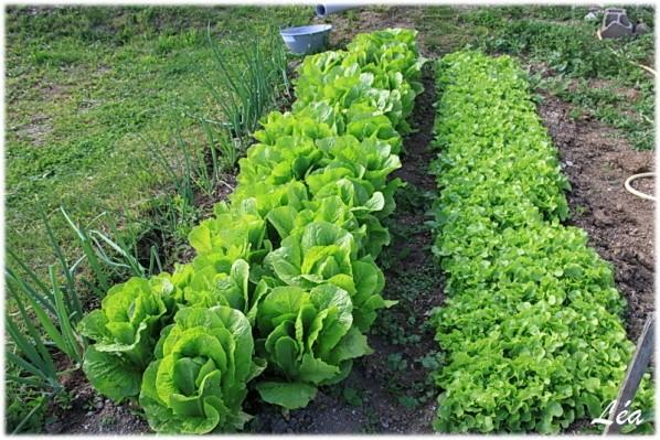 Jardin-0585-salades.jpg