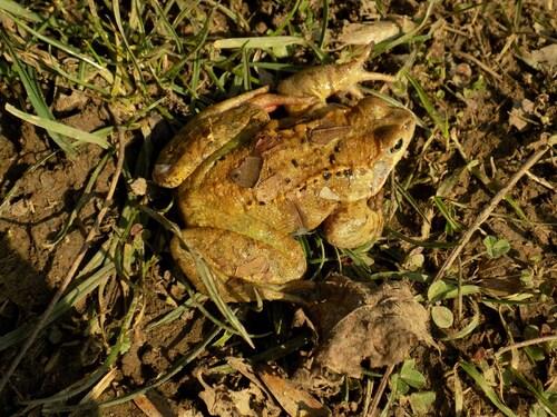 Première grenouille