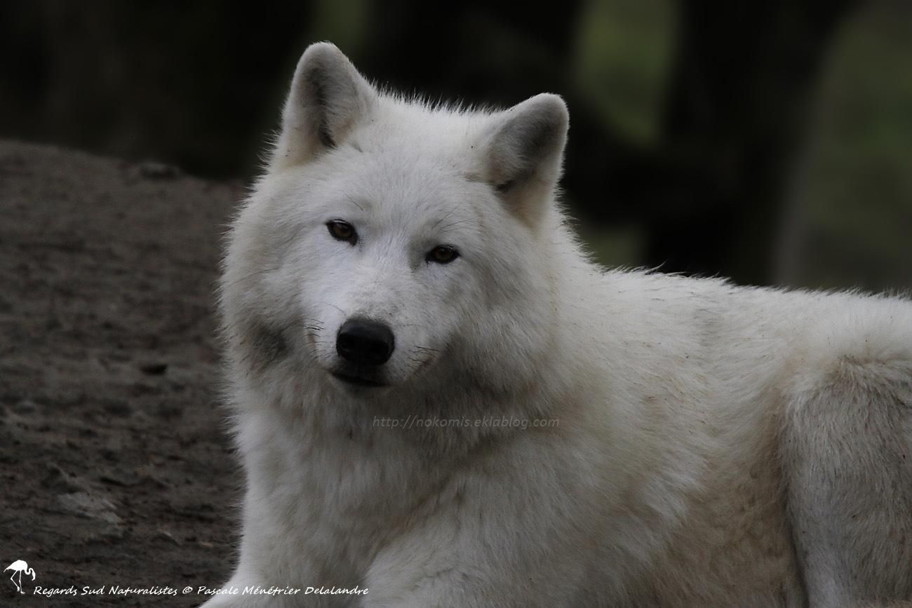 Loups arctiques (Canis lupus arctos)