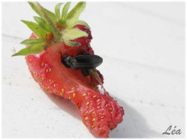 P6123924-taupin-sur-fraise.jpg