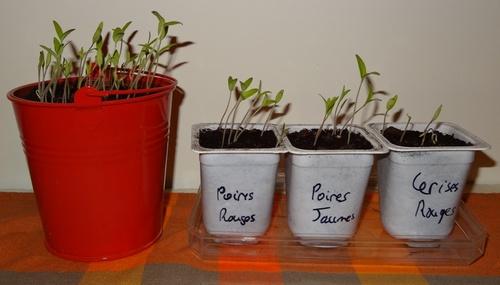 4 mars : tomates