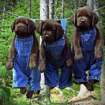 3 choc lab pups on washing line