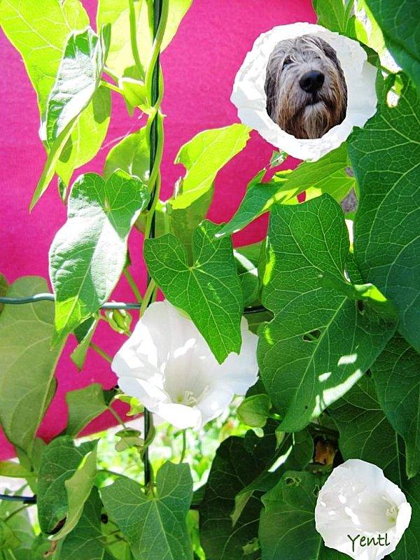 Lisadow envahissant à grandes fleurs