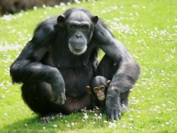 Les différents grands singes