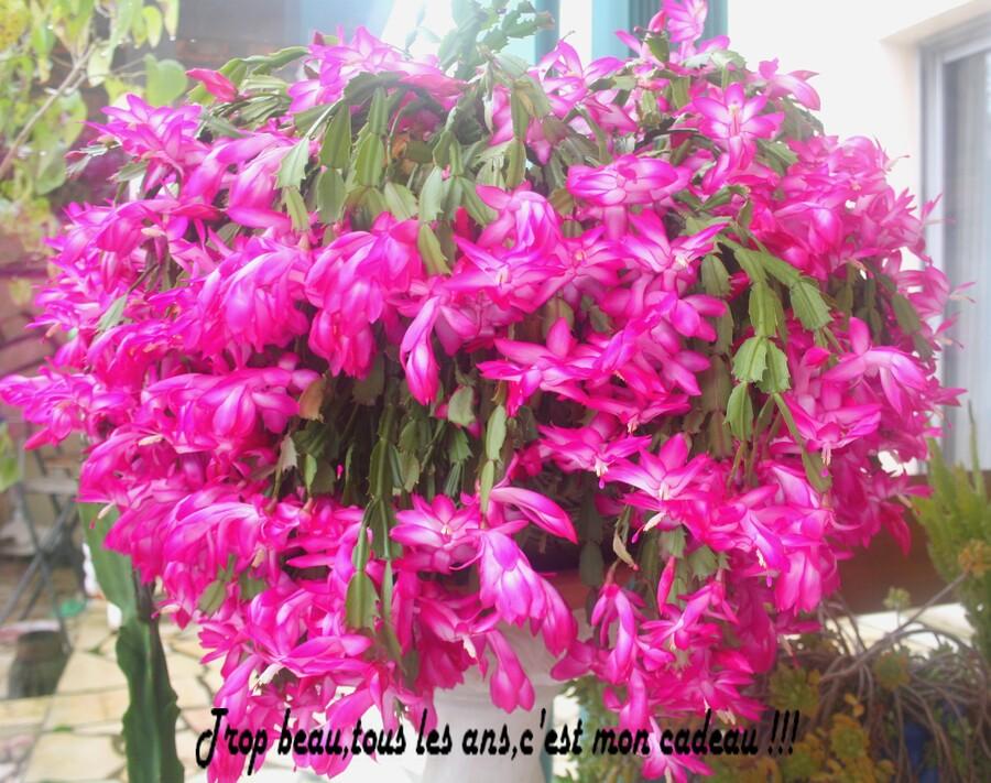 La plante qu 39 on nomme cactus de noel bienvenue chez for Plante de noel