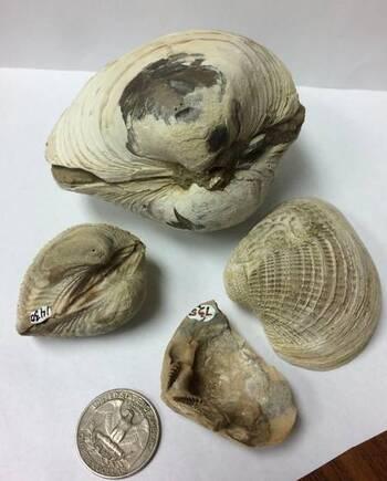 Parmi les 29 fossiles de bivalves en provenance de l'île Seymour étudiés par les chercheurs pour comprendre la disparition des dinosaures en voici 4. On peut voir de haut en bas et dans le sens des aiguilles d'une montre : Lahillia larseni, Cucullaea antarctica, Eselaevitrigonia regina, et Cucullaea ellioti. Ils vivaient il y a entre 69 et 65,5 millions d'années sur les fonds marins faisant face à un delta de la péninsule de l'Antarctique.