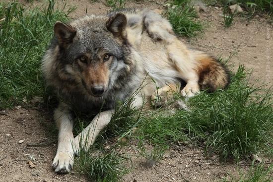 wolfexpressiona21372783
