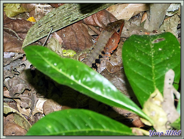 Blog de images-du-pays-des-ours : Images du Pays des Ours (et d'ailleurs ...), Lézard - Parc National Carara - Costa Rica