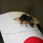 Attention, ça pique ! Un frelon asiatique, il est envahissant et s'attaque aux abeilles !