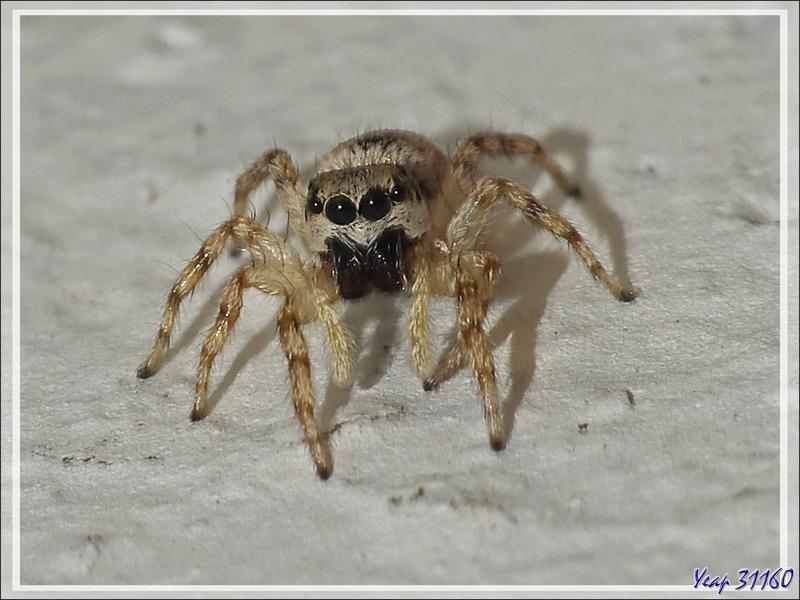 Araignée Saltique arlequin ou chevronnée (Salticus scenicus) - La Couarde-sur-Mer - Ile de Ré - 17