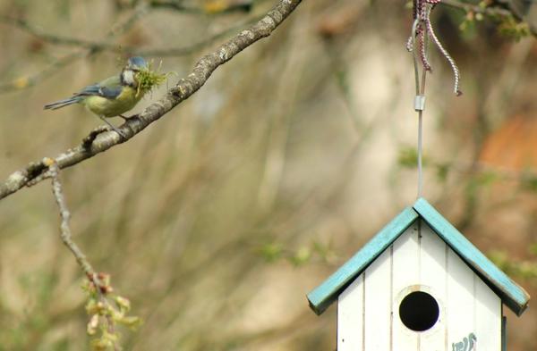 Des mésanges bleues ont niché dans mon jardin au printemps....