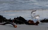 Bécasseau sanderling - p4