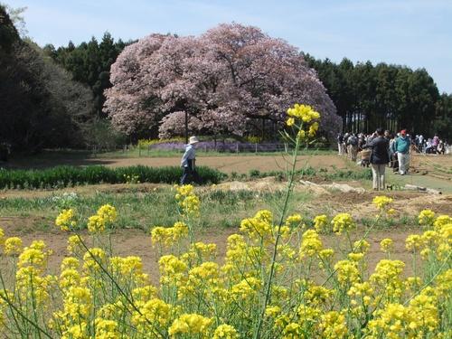 cerisier de 1000 ans