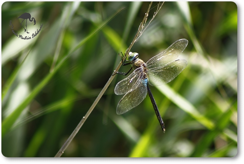 Anax napolitain (Anax parthenope) mâle...