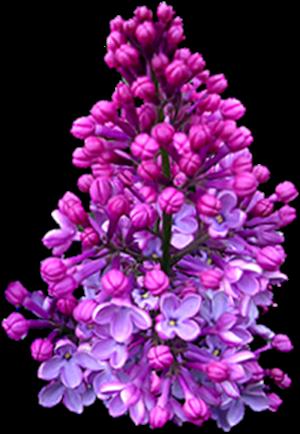 Virágok - Orgona
