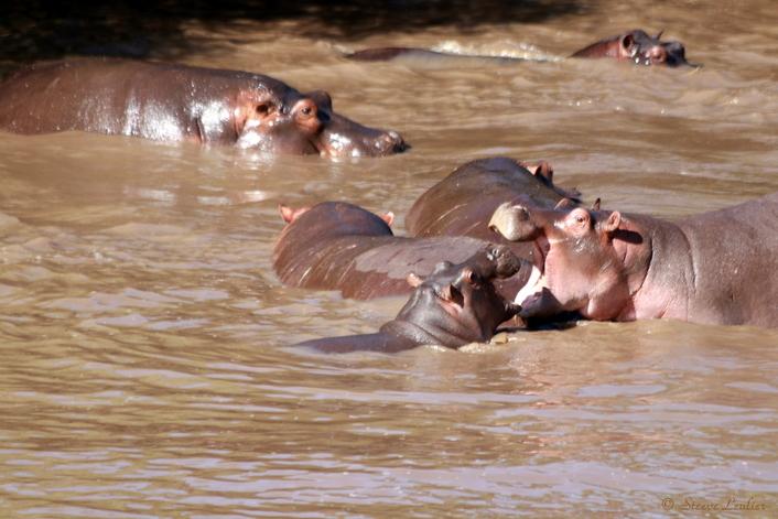 Les éléphants et hippopotames du Sérengeti